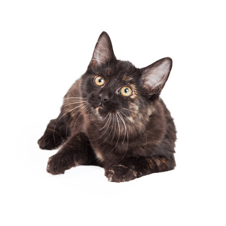 A very curious Black and Tan Domestic Longhair four month old kitten laying while looking up. Banco de Imagens