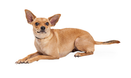 lapdog: A curious Chihuahua Mix Breed Dog laying at an angle while looking up.