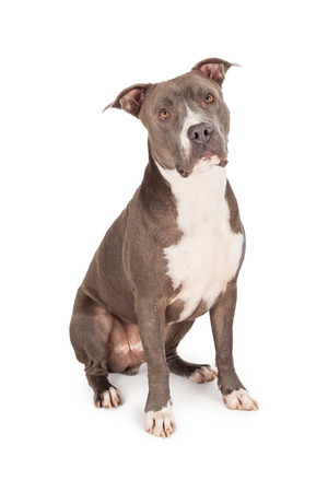 medium length: A beautiful blue coated American Staffordshire Terrier dog sitting Stock Photo