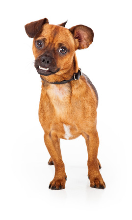 overbite: An alert chihuahua dog stands facing the camera.  The dog is cute with an underrbite and a curious disposition