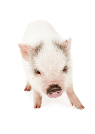 pig skin: A cute baby pot-bellied pig with pink skin and white hair