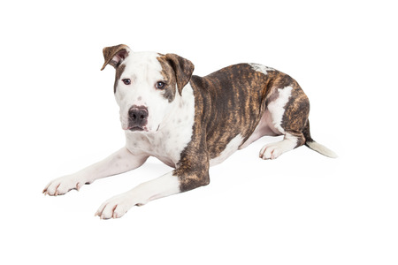 brindle: An attentive and well trained American Staffordshire Terrier Mixed Breed Dog laying at an angle.