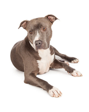 A beautiful blue coated American Staffordshire Terrier dog laying down with a shy expression