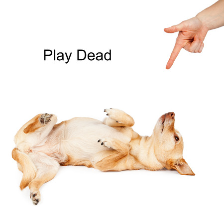 dead dog: A person giving a hand signal to a little Chihuahua mixed breed dog for the command of Play Dead