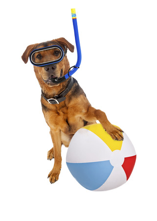 bola de billar: Un gran perro de raza mixta listo para unas vacaciones con una bola de buceo y playa Foto de archivo
