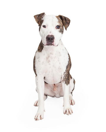 black and white pit bull: An alert American Staffordshire Terrier Mixed Breed Dog sitting while looking directly into the camera.