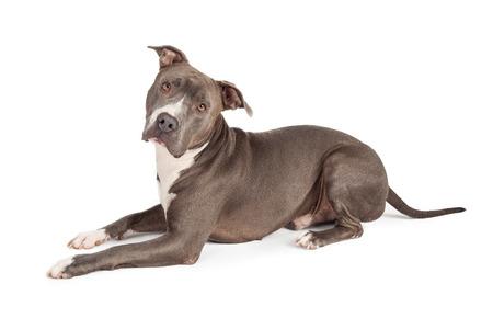 아름 다운 블루 코트 아메리칸 스 태 포드 셔 테리어 강아지