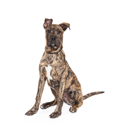 brindle: A cute four month old Great Dane And Boxer Mixed Breed Puppy Dog sitting while looking into the camera. Stock Photo