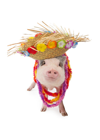 leis: A funny pot-bellied pig wearing a colorful Hawaiian straw hat and leis
