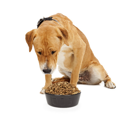 kibble: A large Labrador mixed breed dog looking down at a heaping bowl of kibble dog food Stock Photo