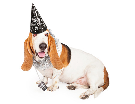 pet new years new year pup: A fun Basset Hound dog wearing a black New Years Eve hat and party necklace