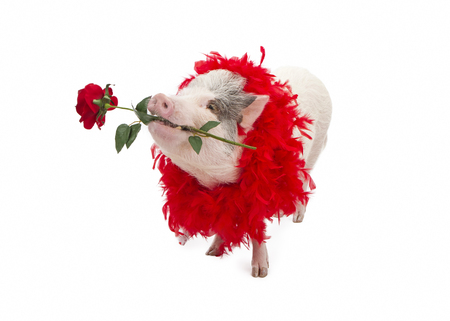 potbellied: A funny pot-bellied pig wearing a red feather boa while holding a red rose in his mouth