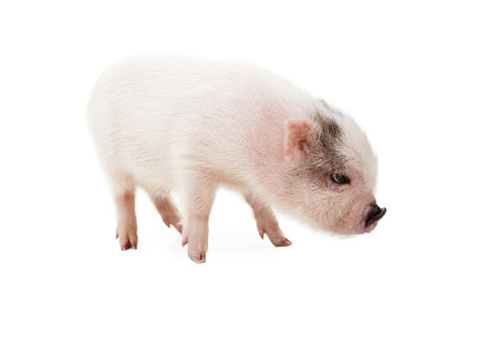 piglet: A profile view of a cute little pink piglet isolated on a white  Stock Photo