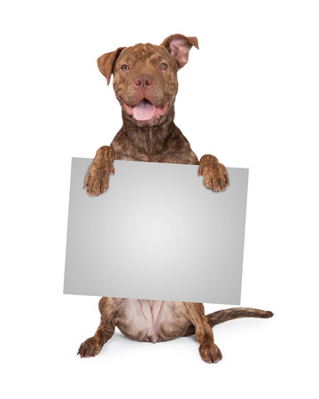 five month old: Five month old Pit Bull and Shar Pei mixed breed dog sitting up and holding a blank sign to enter text onto