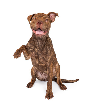 A cute brindle color Pit Bull and Shar Pei dog holding paw out to the side