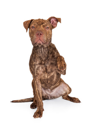 brindle: A cute brindle color Pit Bull and Shar Pei dog