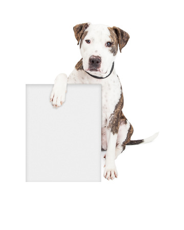 キュートでフレンドリーなピット ・ ブル犬があなたのマーケティング メッセージを入力する空白記号をくわえています。