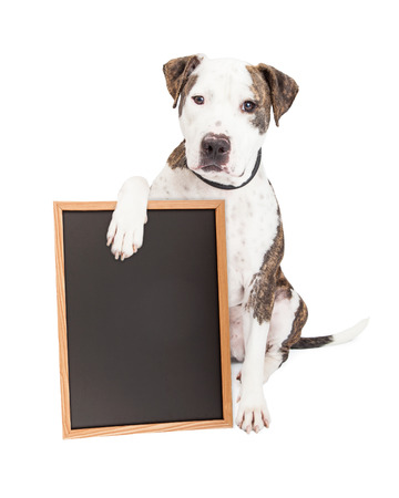 Cute and friendly Pit Bull Dog holding a blank chalkboard to enter a message onto 版權商用圖片 - 35798798