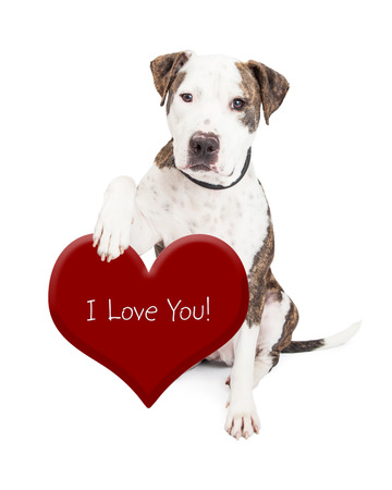 Cute and friendly Pit Bull Dog holding onto a red heart with the words I Love You Фото со стока