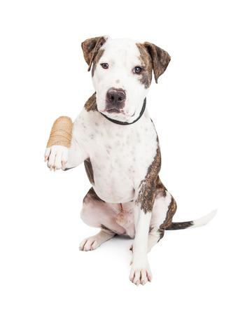 キュートでフレンドリーなピット ・ ブル犬を負傷し包帯の足を保持しています。