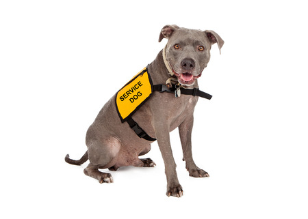 service: A happy blue Pit Bull dog wearing a yellow service dog vest