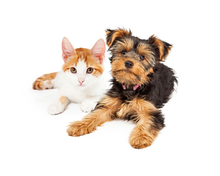 puppy and kitten: Yellow gold kitten laying next to a Yorkshire Terrier puppy