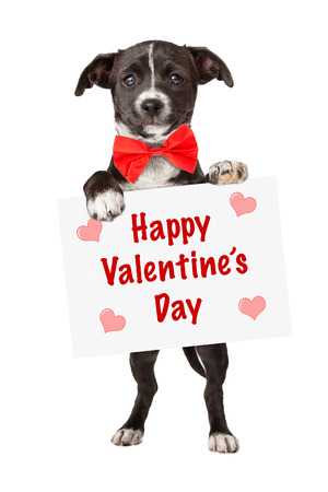 An adorable little black and white mixed breed puppy holding up a sign with the words Happy Valentines Day Stock Photo