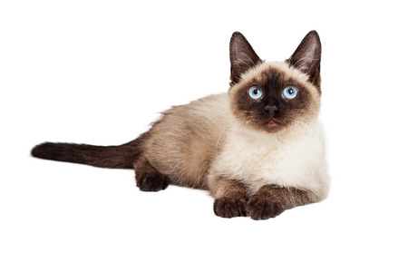 laying forward: A pretty Siamese breed kitten laying down and looking forward Stock Photo