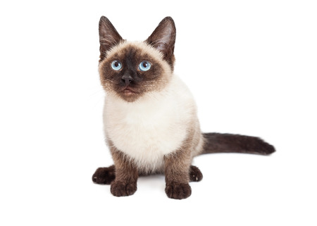 sitting down: A pretty Siamese breed kitten sitting down on a white and looking forward