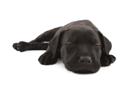 A sleepy little eight week old black puppy laying down