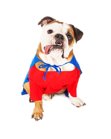 dog in costume: A cute Bulldog dressed as a superhero character with a red shirt and blue cape