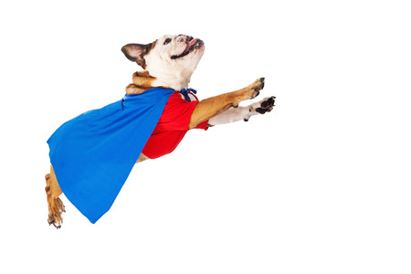 A funny Bulldog dressed as a super hero in a red shirt and blue cape flying through the air Stockfoto