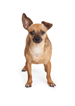 lapdog: An adorable Chihuahua Mix Breed Dog standing while looking into the camera. Stock Photo