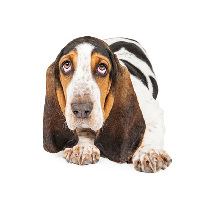 laying forward: A cute young Basset Hound puppy dog laying and looking forward into the camera Stock Photo