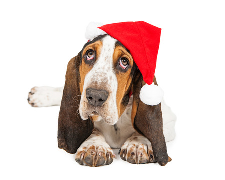 A cute young Basset Hound breed puppy dog wearing a Christmas Santa Claus hat looking up photo