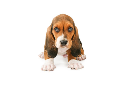 A cute little young Basset Hound breed puppy dog sitting and looking forward
