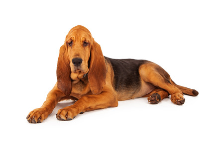 bloodhound: A cute young Bloodhound puppy laying down on a white background Stock Photo