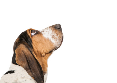 A closeup of the side view of a cute Basset Hound puppy dog looking up