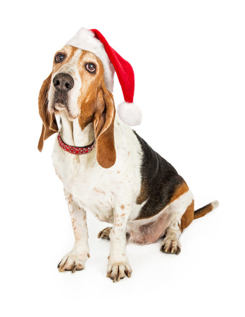 A funny Basset Hound dog with droopy ears wearing a red santa hat and collar photo