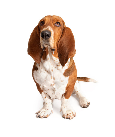 drool: An adult Basset Hound dog with drool dripping out of his mouth