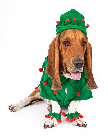 A cute young Basset Hound dog dressed as a Christmas elf photo