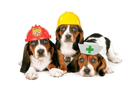 bombero de rojo: Cachorros Basset Hound llevando sombreros para las diferentes ocupaciones de trabajo incluyendo un bombero, trabajador de la construcci�n y veterinario Foto de archivo