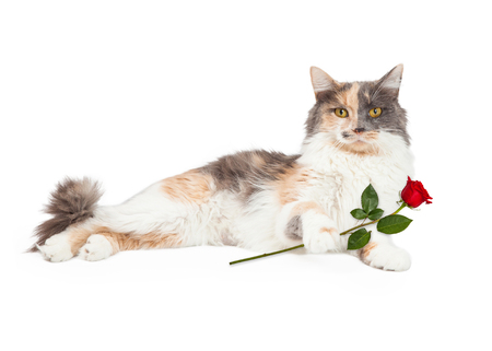 laying forward: An active Calico Domestic Longhair Cat raises its paw in front of its body. Stock Photo
