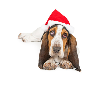 A cute young Basset Hound breed puppy dog wearing a Christmas Santa Claus hat looking at the camera photo