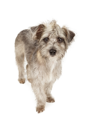 spiked hair: A cute young mixed terrier breed dog with a spiked mohawk hair style