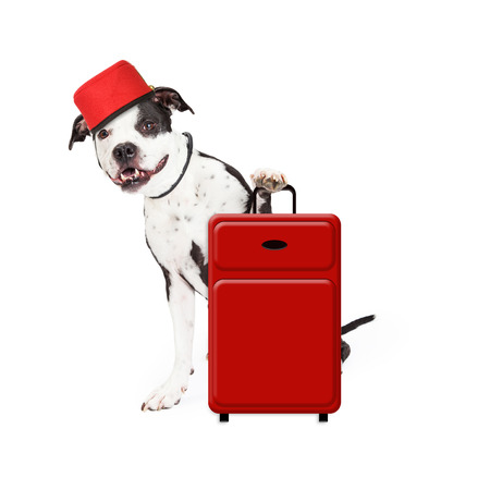 bellhop: A cute and friendly dog dressed as a hotel bellhop with a red suitcase