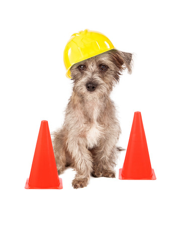 A cute dog sitting in front of construction cones wearing a yellow hard hat Stok Fotoğraf
