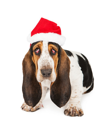 A tired young Basset Hound breed puppy dog with bloodshot droopy eyes wearing a Christmas Santa Claus hat photo