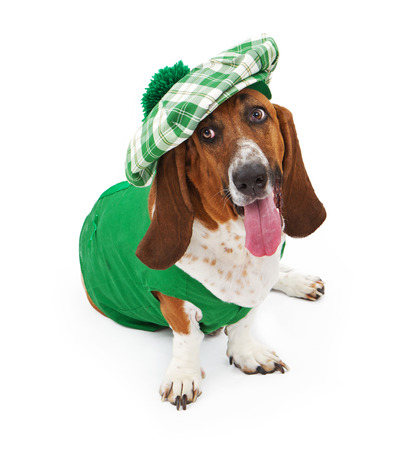 A funny Basset Hound dog dressed for St Patricks Day with a green outfit and hat 版權商用圖片