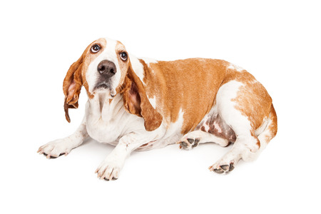 punished: A Basset Hound dog laying and looking up with a sad expression as he is bing punished